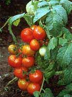 Представтесь.  Подкормка - в период роста регулярно.  Размножение - семенами.  Освещение - яркое. кот.