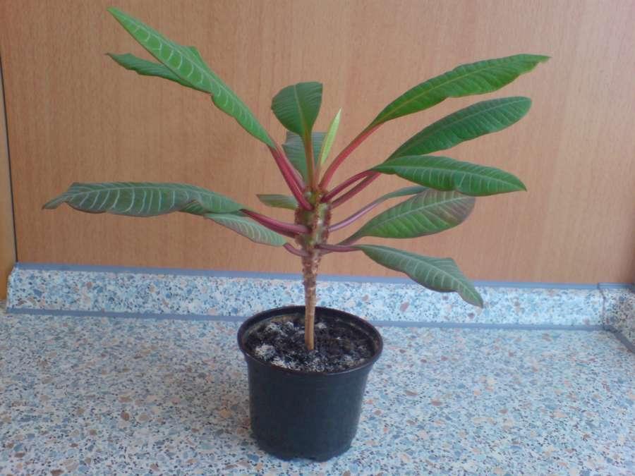 Финик робелена финиковая пальма