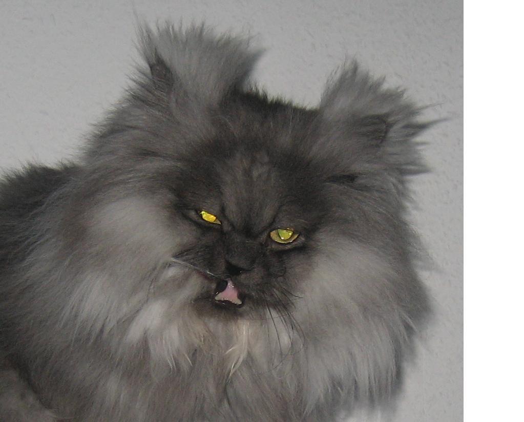 Персидский кот фото экстремал