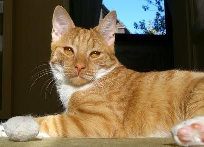 Уживутся стерилизованная кошка и не кастрированный кот