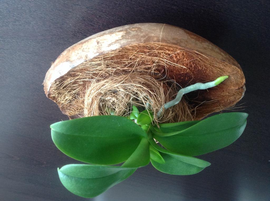 Янтарная кислота для комнатных растений орхидеи
